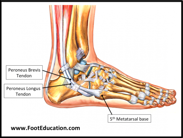 The Peroneus brevis and Peroneus longus tendons
