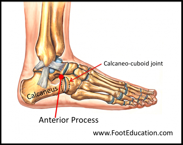 Anterior Process of the Calcaneus anatomy