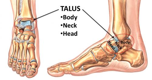 Talar Anatomy Diagram