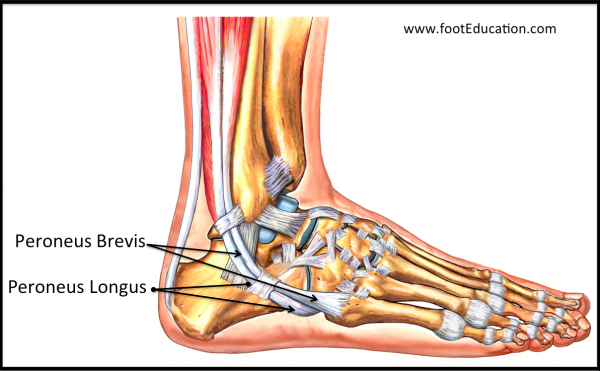 Tendons of the peroneus longus and brevis