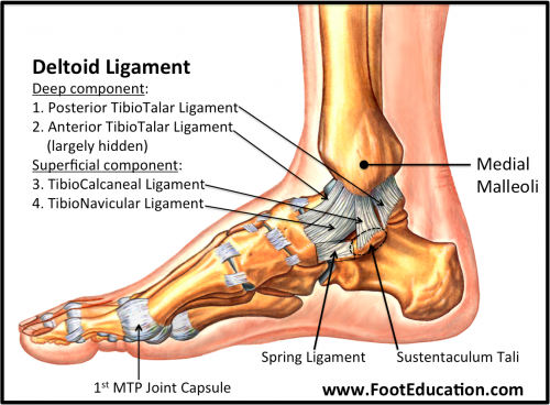 Medial Deltoid Ligament
