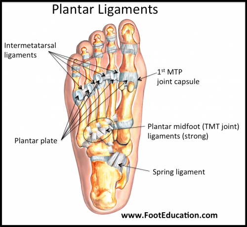 Plantar Ligaments