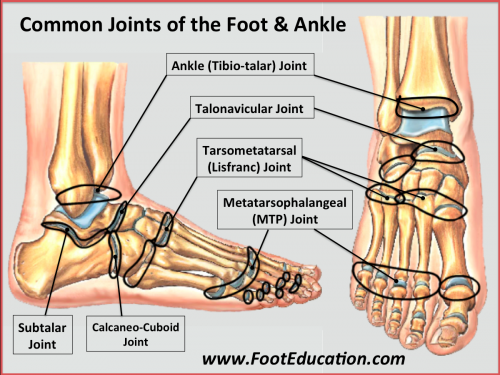 Common Joints of the Foot and Ankle