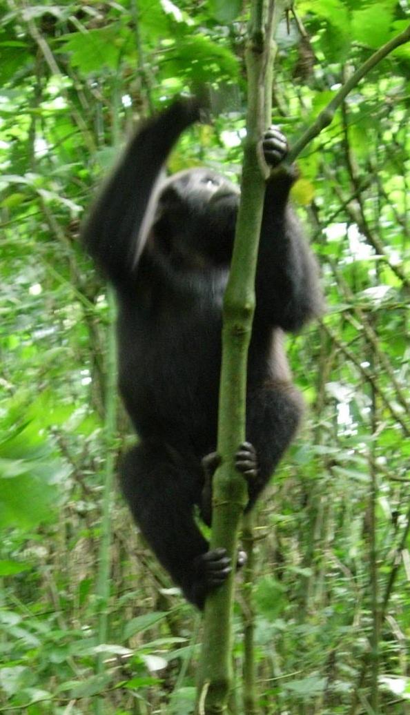 Gorilla Climbing