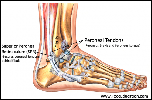 Peroneal Tendons of the foot and ankle and SPR